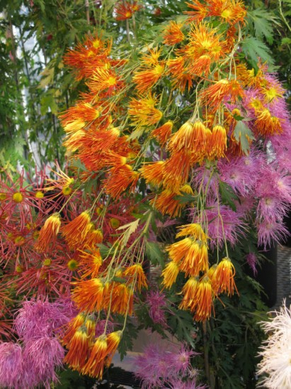 cascading-spidery-mums